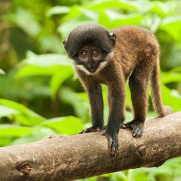 Bwindi Forest Mountain Gorilla (Uganda)