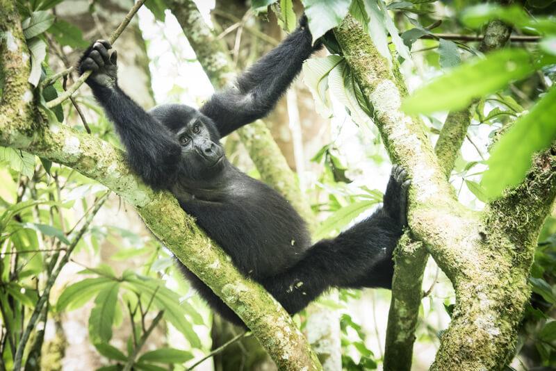 Bwindi Impenetrable Forest (Uganda) - April 2017