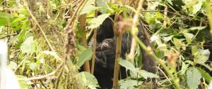 Gorilla nursing baby gorilla