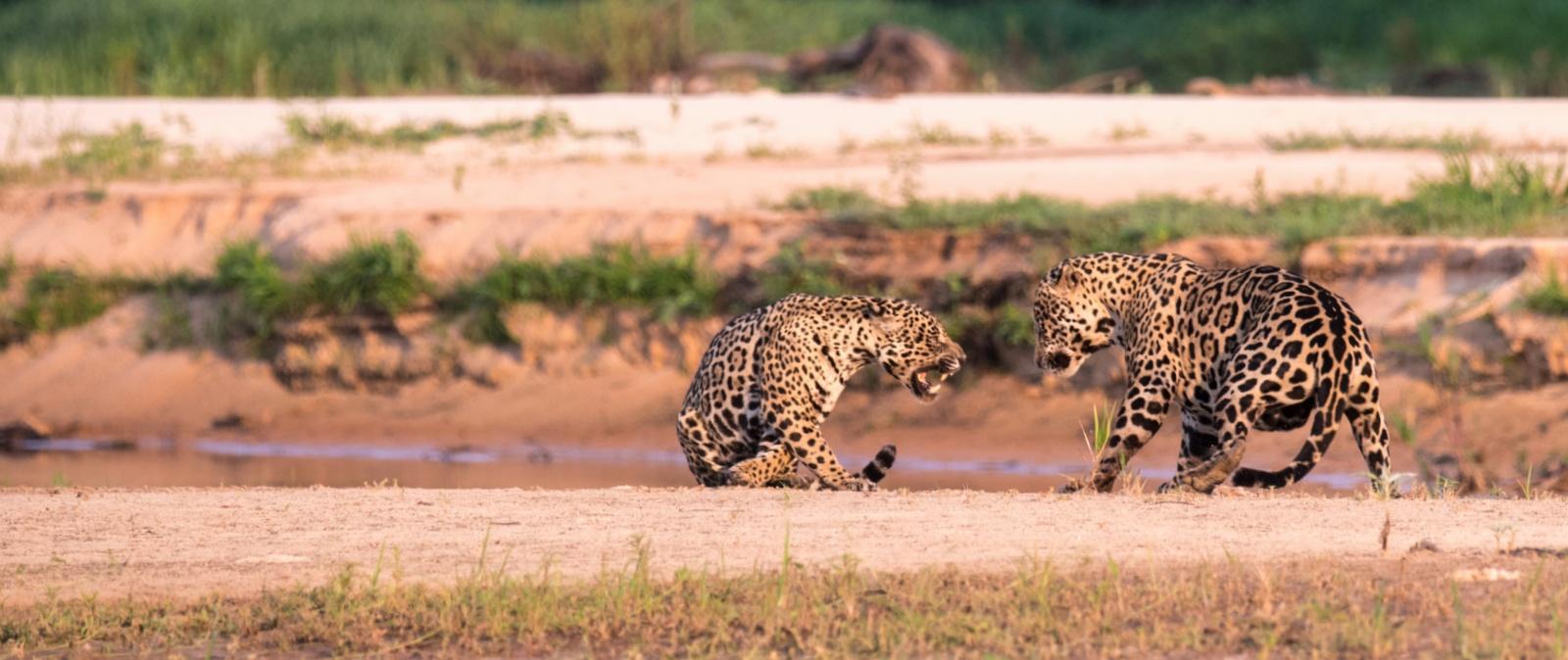 Jaguar-males-PJ-1
