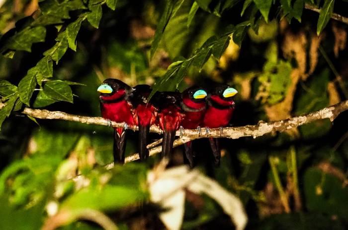 Black-and-red Broadbill by Richard Orzek