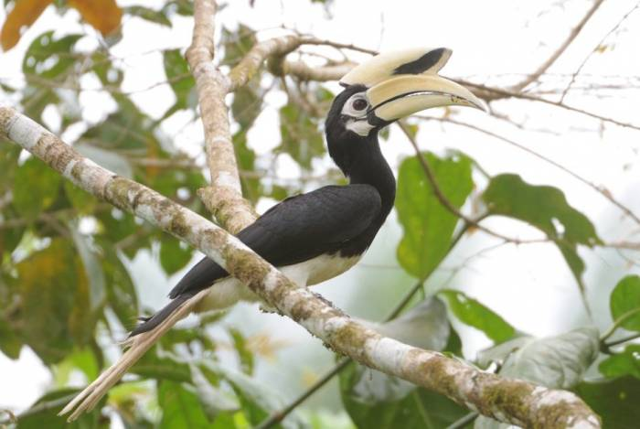 Borneo - Oriental Pied Hornbill by Jim James