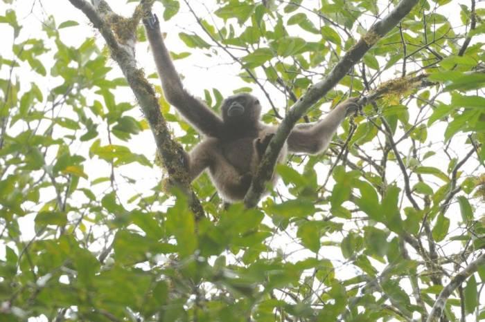 Bornean Gibbon by Jim James