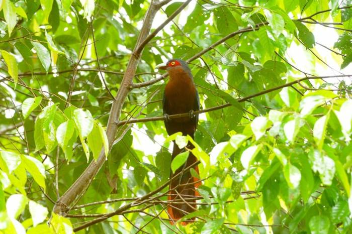 Chestnut-Breasted Malkoha by Jim James
