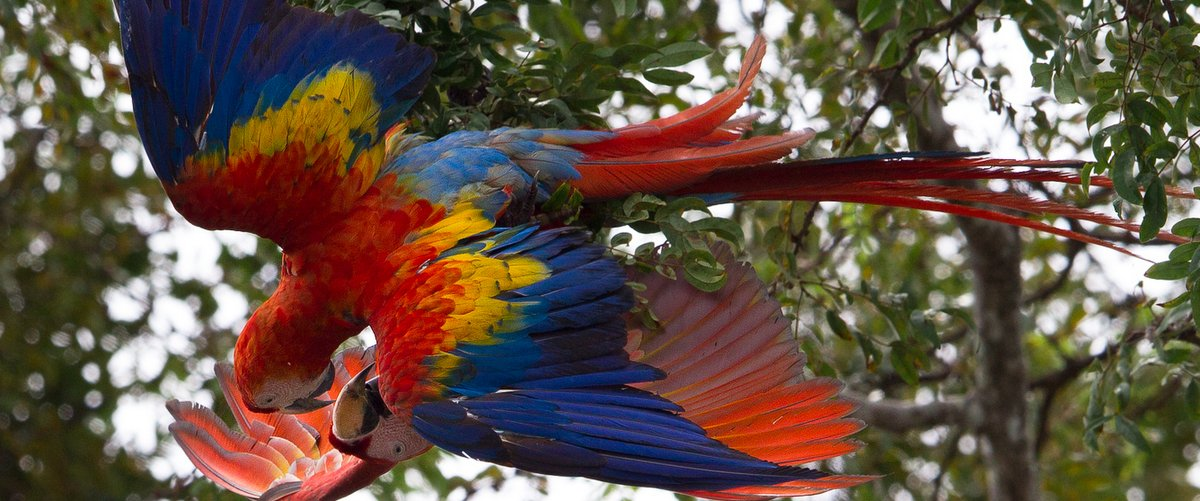 Macaw-courtship-by-Lapa-Rios-Lodge-Osa-Peninsula