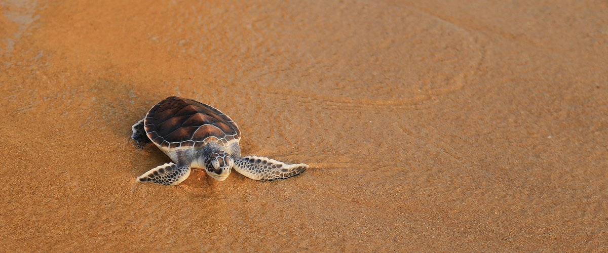 1.-SUNDY-PRÍNCIPE-Baby-sea-turtle-returning-to-the-sea