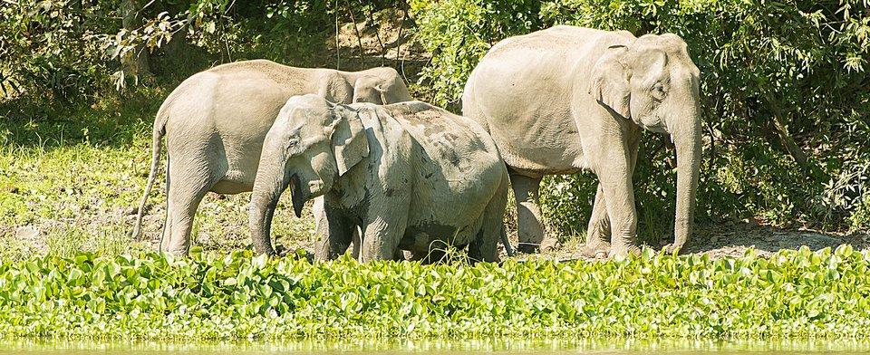 Asian Elephants by Larry Jackson