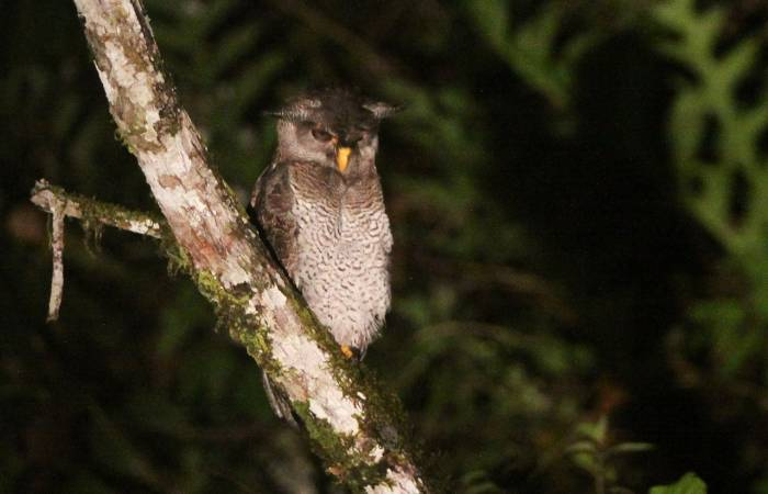 Borneo - Barred Eagle-owl by Richard Orzeck