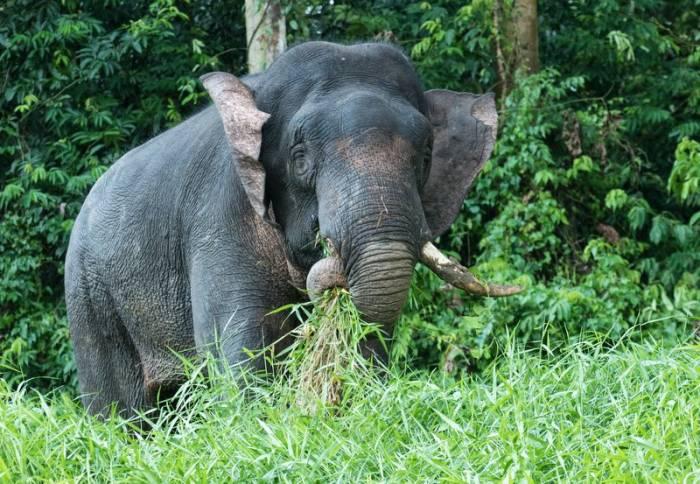 Borneo - Bornean Elephant by Simon Bellingham