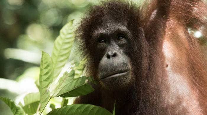 Borneo - Female Orangutan by Simon Bellingham