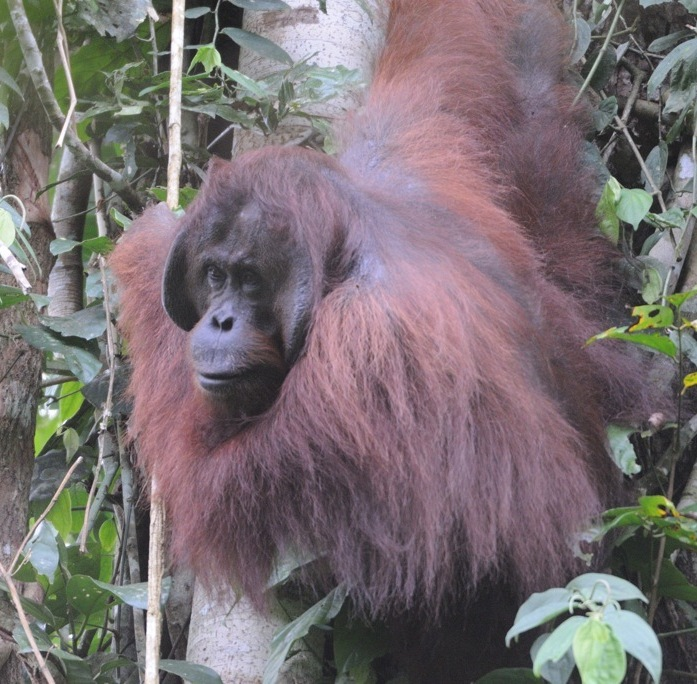Borneo - Old Man of the Forest by Jim James