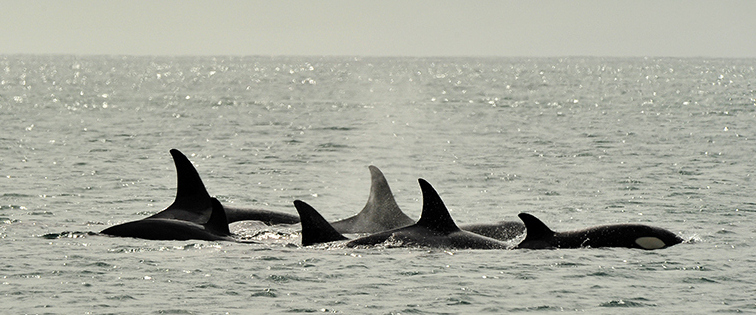 Orcas by Pablo Cersosimo at Valdes Peninsula - Argentina & Chile Luxury Wildlife Safari Tours - Bellingham Safaris