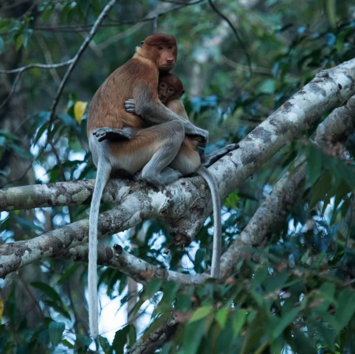 Borneo - Proboscis Monkey mother with young by Simon Bellingham
