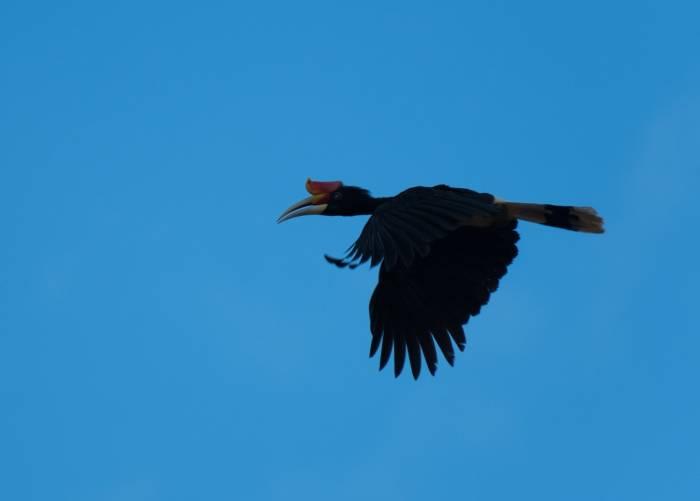 Borneo - Rhinoceros Hornbill by Simon Bellingham