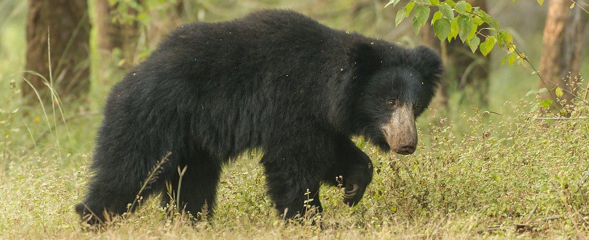 Sloth Bear by Larry Jackson