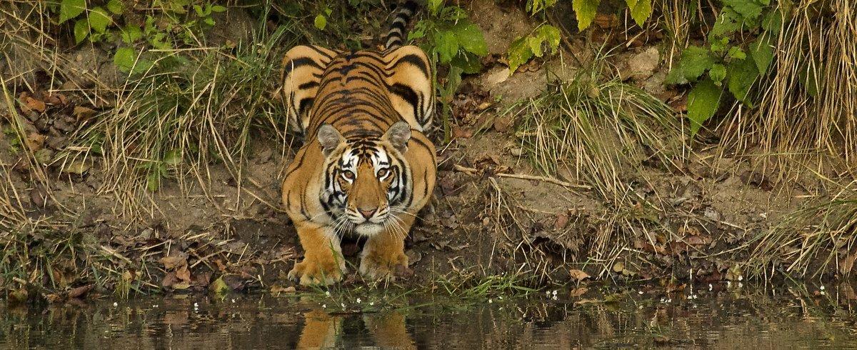 Tigress at Kahna by Indrajit Latey