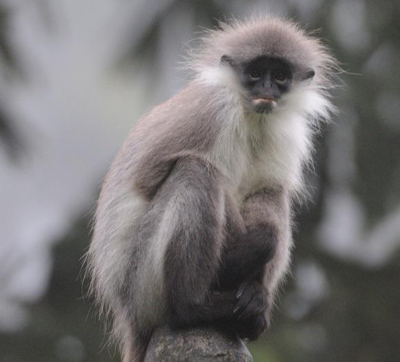 Borneo - White-thighed Langur by Jim James