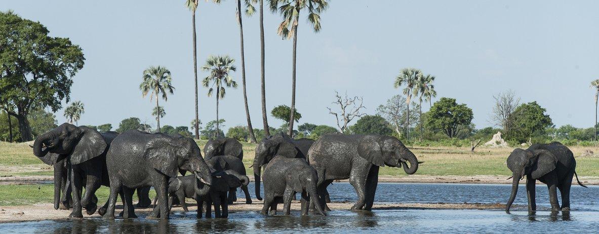Breeding heard of Elephants by Mike Myers - Zimbabwe & Victoria Falls Luxury Safari - Bellingham Safaris
