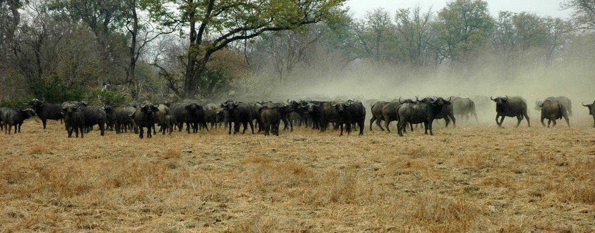 Buffalo at Mana Pools by Simon Bellingham - Zimbabwe & Victoria Falls Luxury Safari - Bellingham Safaris